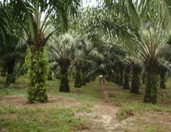 palmier-a-huile